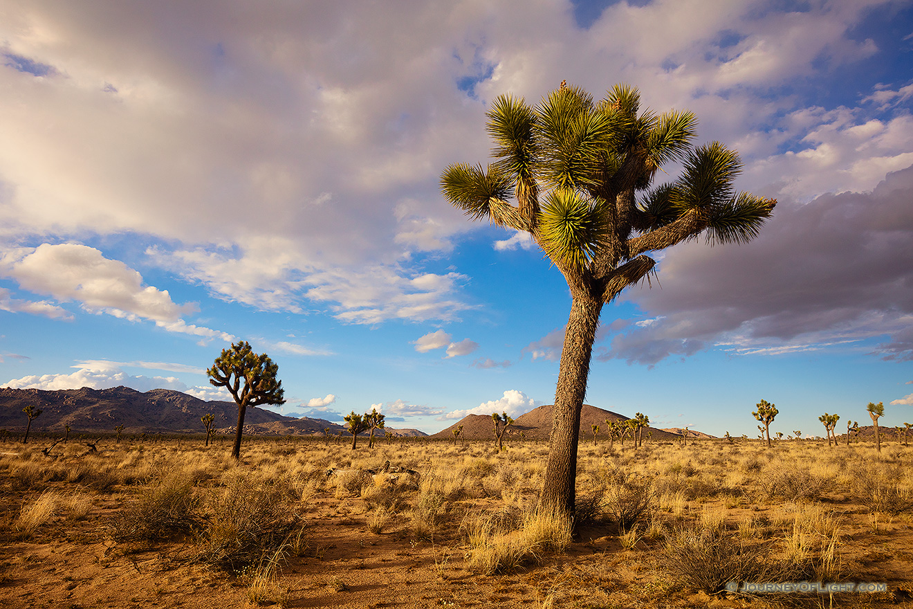 Warm afternoon sun illuminates the desert landscape which is dotted by the unique Joshua Trees in Joshua Tree National Park. - State of California Picture