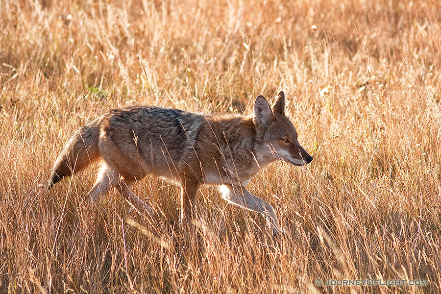 The sun had just crested the eastern mountain range when a coyote appeared and raced through Moraine Park in Rocky Mountain National Park, hunting his next meal. - Rocky Mountain NP Photography