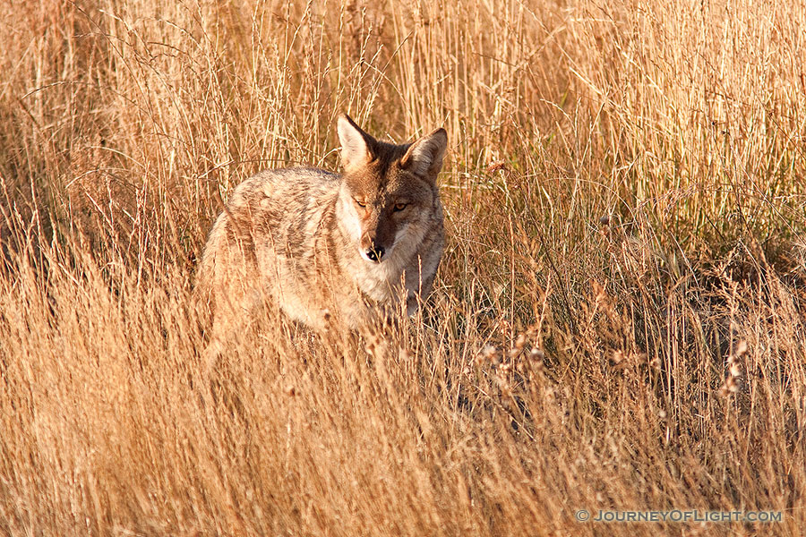 A coyote in Rocky Mountain National Park pauses briefly to survey his surroundings. - Rocky Mountain NP Photography