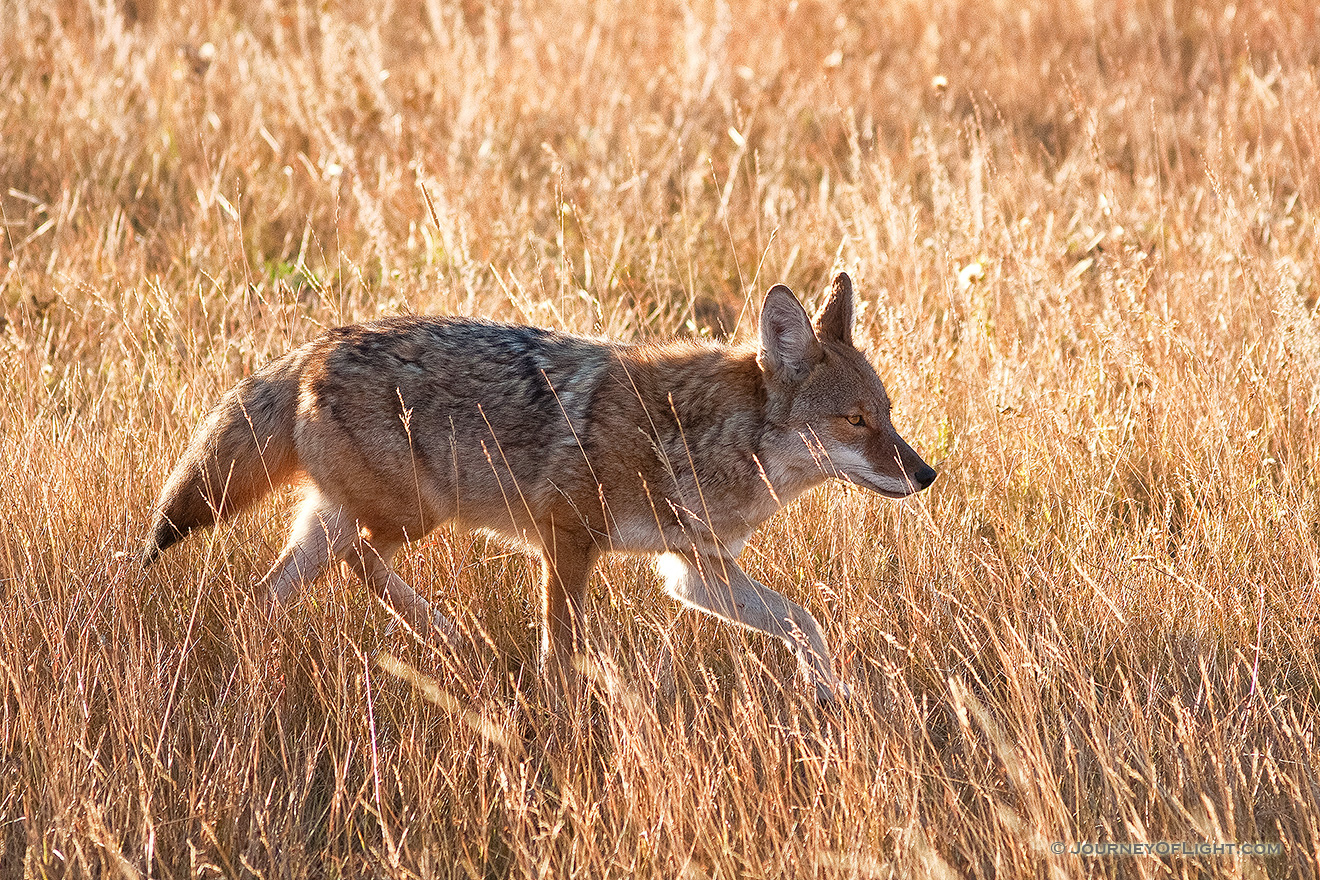 The sun had just crested the eastern mountain range when a coyote appeared and raced through Moraine Park in Rocky Mountain National Park, hunting his next meal. - Rocky Mountain NP Picture