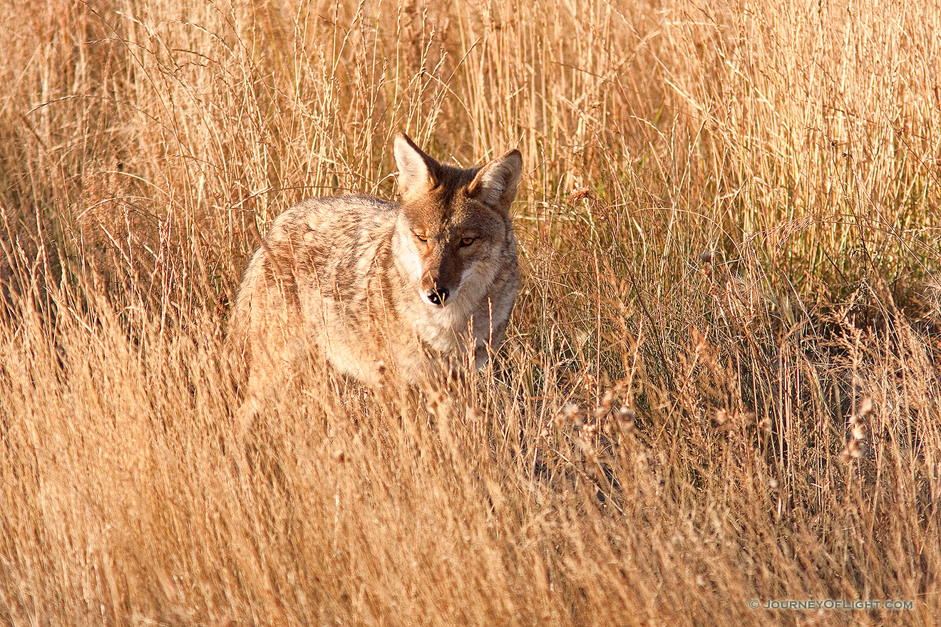 A coyote in Rocky Mountain National Park pauses briefly to survey his surroundings. - Rocky Mountain NP Picture