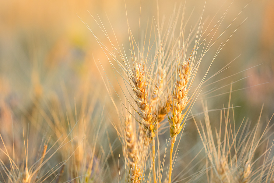 A macro photograph of wheat glowing in the late afternoon sun in the panhandle of Nebraska. - Nebraska Photography