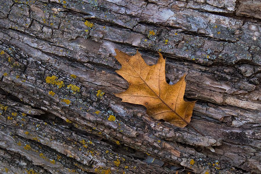 An autumn oak leaf rests on the trunk of a fallen tree in the forest of Chalco Hills Recreation Area. - Nebraska Photography
