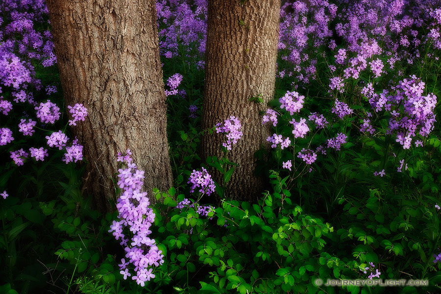 Near the Platte River, I captured these purple Dames Rocket which contrast with the vibrant greens of the spring. - Nebraska Photography