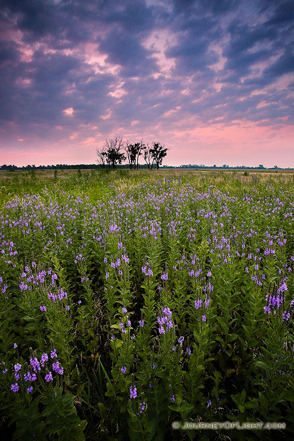 On a quiet evening on Boyer Chute National Wildlife Refuge, these purple flowers stand silently.  A pinkish sky is the last sign of the sun before the last light vanishes leaving the fields in darkness.  - Boyer Chute Photography
