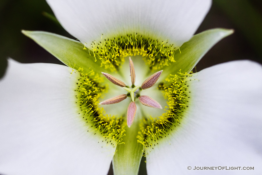 A single, delicate Mariposa Lily grows in the shade of some lodgepole pine trees in Jewel Cave National Park in South Dakota. - South Dakota Photography