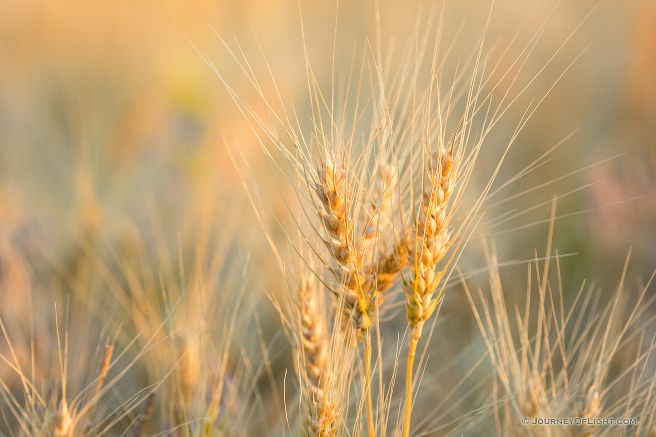 A macro photograph of wheat glowing in the late afternoon sun in the panhandle of Nebraska. - Nebraska Picture