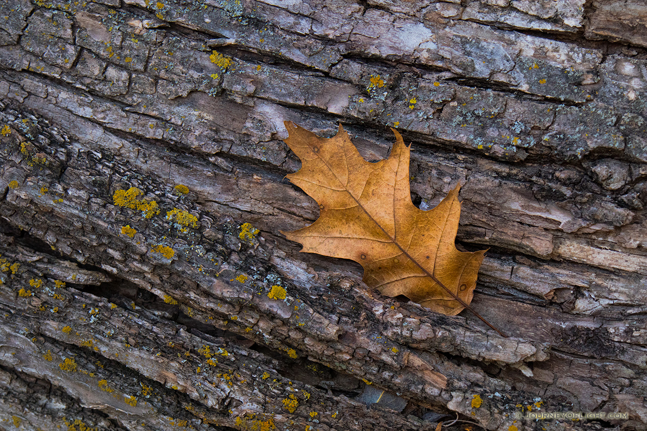 An autumn oak leaf rests on the trunk of a fallen tree in the forest of Chalco Hills Recreation Area. - Nebraska Picture