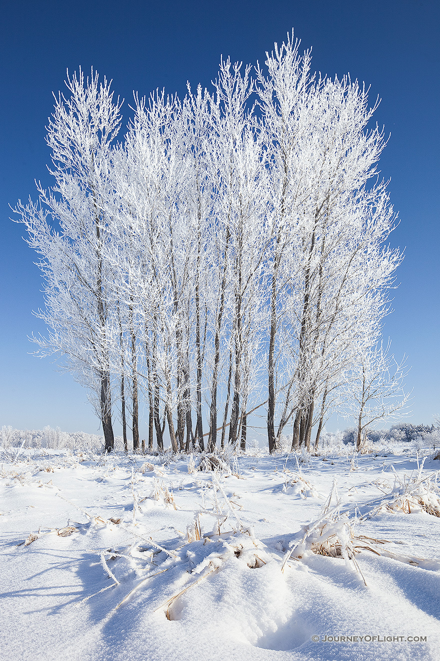 Hoarfrost clings to a stand of cottonwoods at Chalco Hills Recreation Area on a cold February morning. - Nebraska Picture