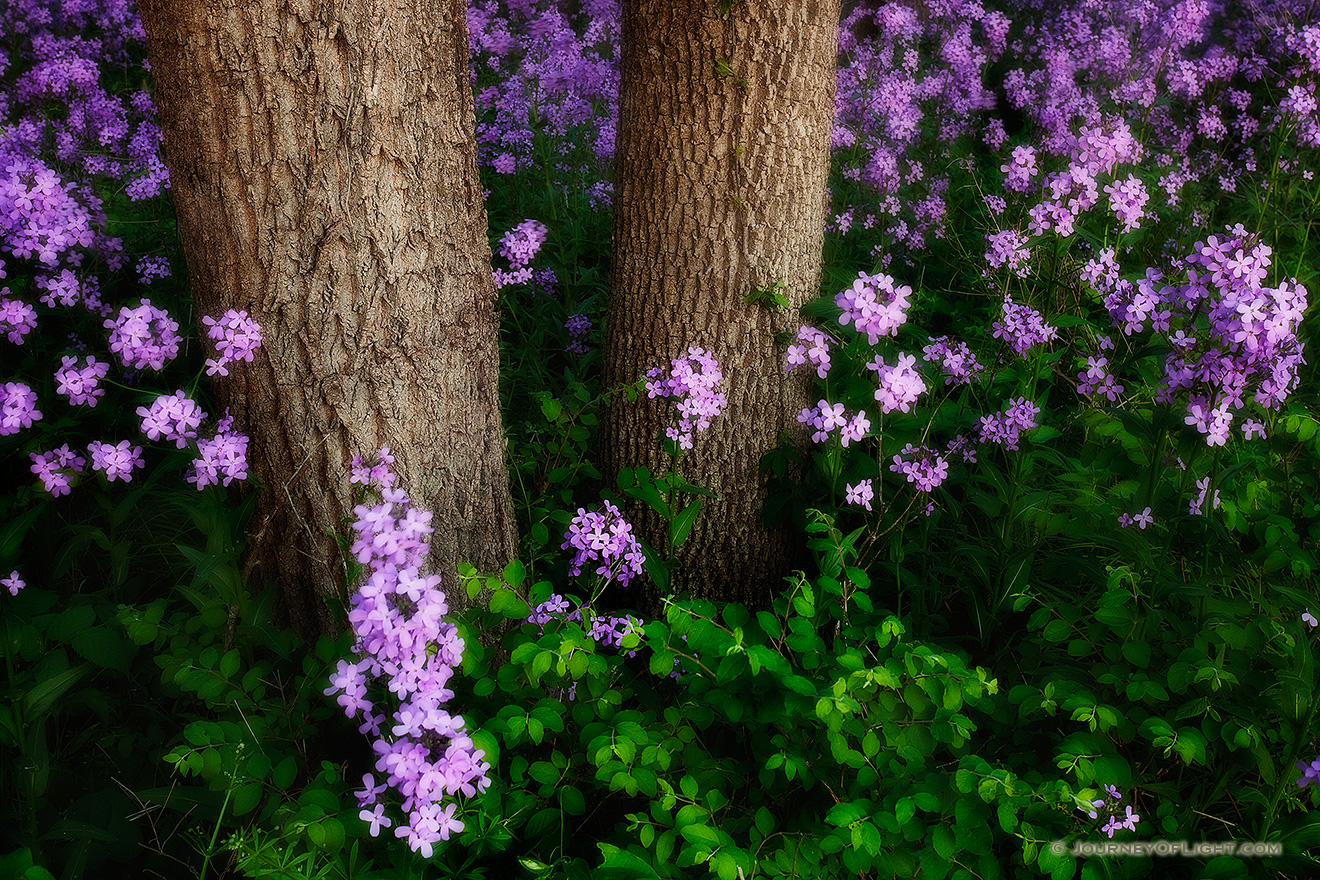Near the Platte River, I captured these purple Dames Rocket which contrast with the vibrant greens of the spring. - Nebraska Picture