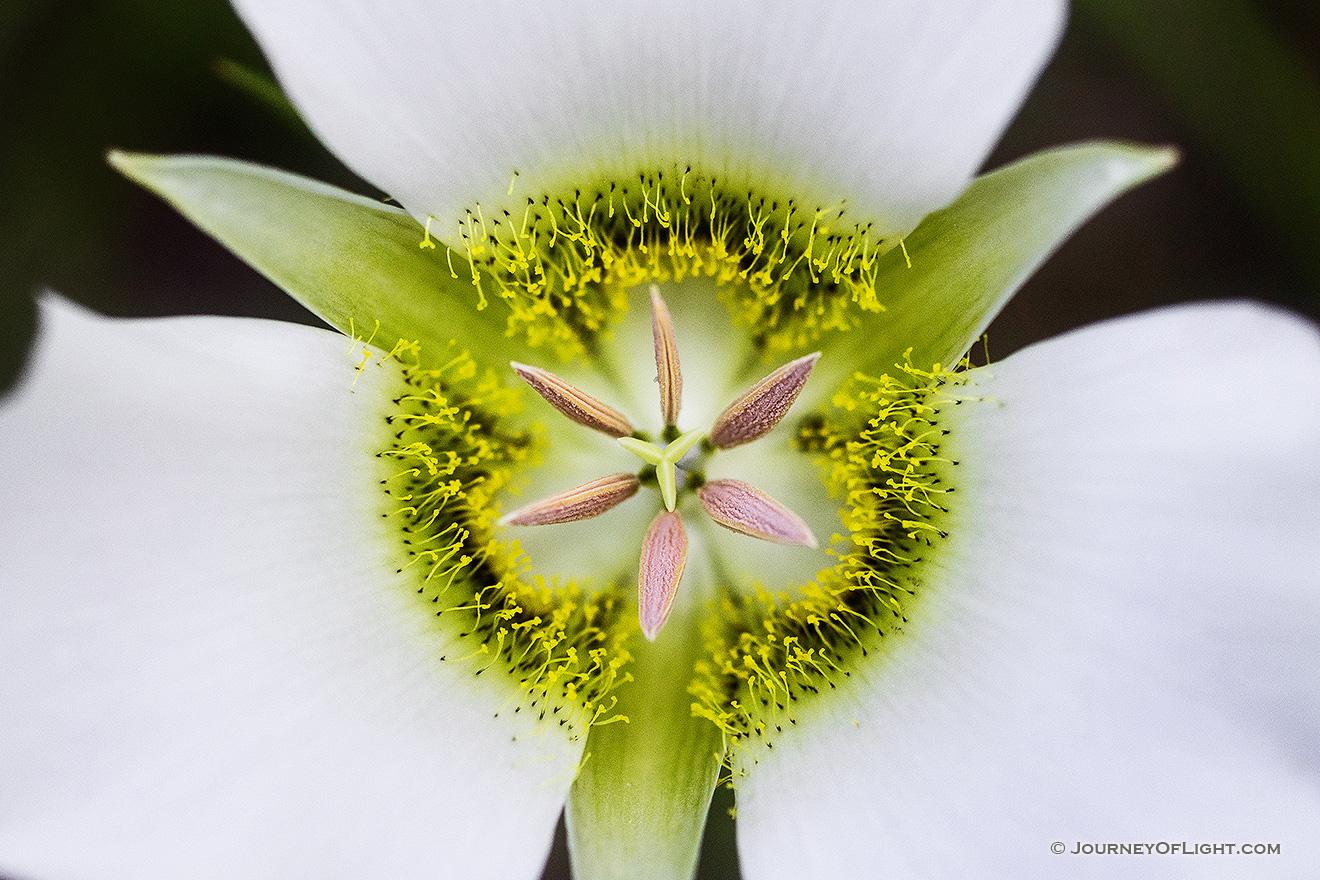 A single, delicate Mariposa Lily grows in the shade of some lodgepole pine trees in Jewel Cave National Park in South Dakota. - South Dakota Picture