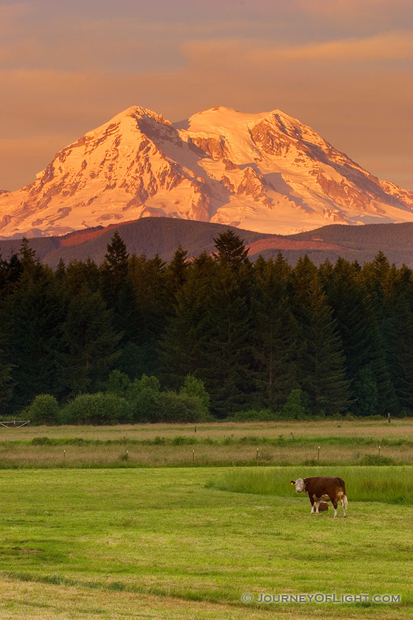 Several cows guard Mt. Rainier during a spectacular sunset. - Pacific Northwest Photography