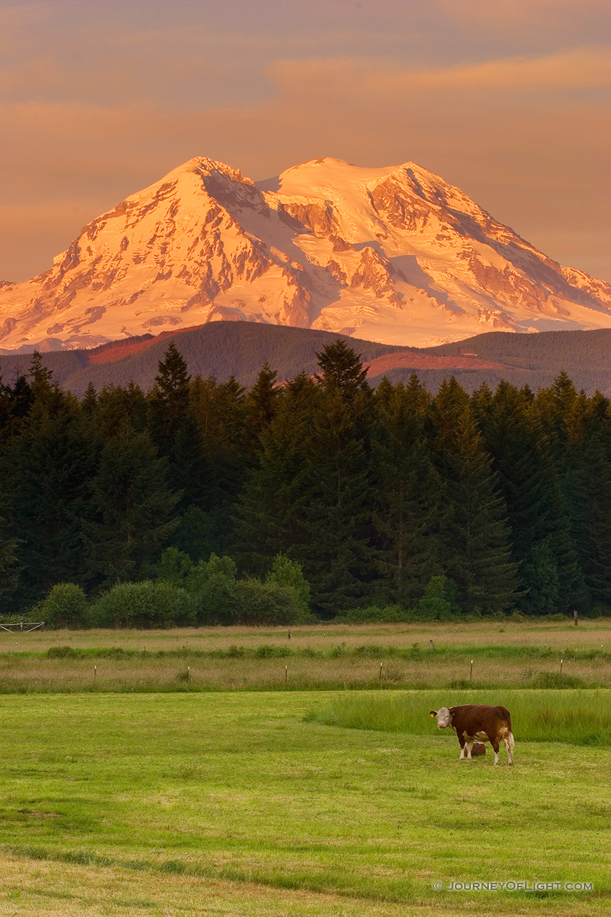 Several cows guard Mt. Rainier during a spectacular sunset. - Pacific Northwest Picture