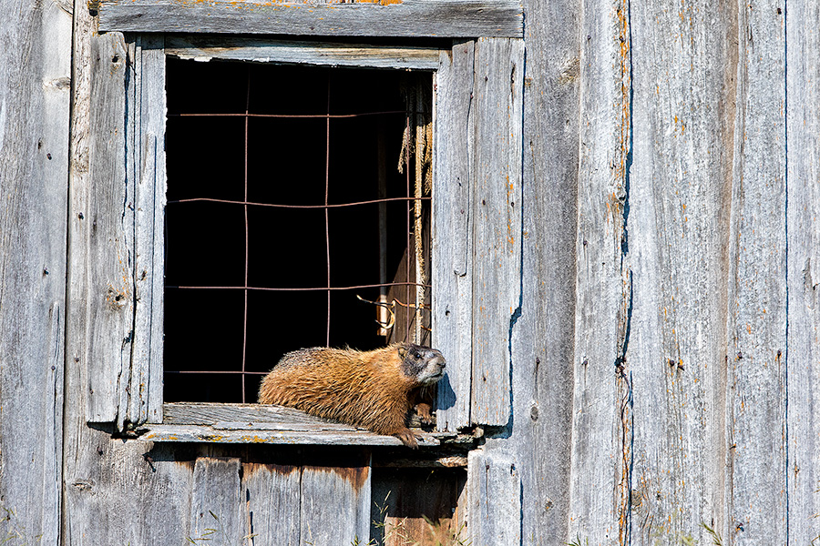 A wildlife photograph of a marmot sunning itself on an old shed in the Blacks Hills area of South Dakota. - South Dakota Photography