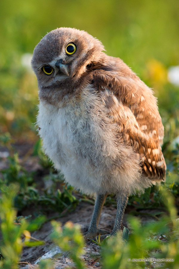 A young owlet tilts his head in curiosity in Badlands National Park, South Dakota. - South Dakota Photography