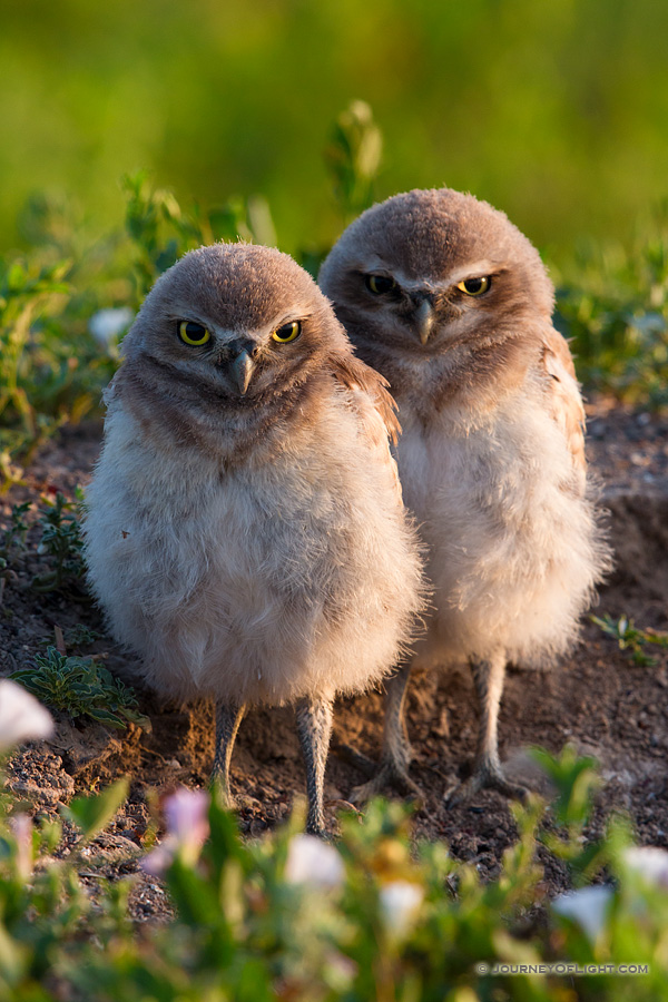 Two burrowing owl chicks watch quietly outside their home in Badlands National Park, South Dakota. - South Dakota Photography