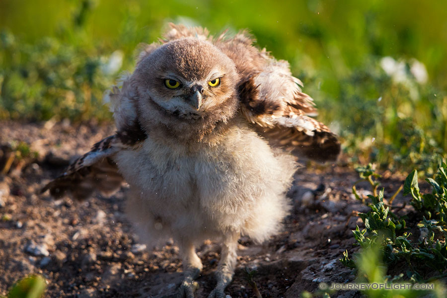 An owlet shakes his feathers just after sunrise in Badlands National Park, South Dakota. - South Dakota Photography