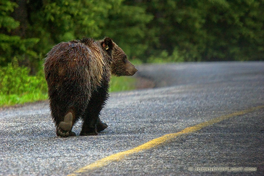 When I was coming back from photographing the sunrise on Lake Moraine, this fellow joined me on the road. - Canada Photography