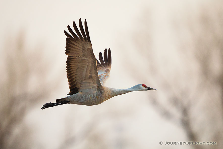 A Sandhill Crane soars high above the Platte River in the early morning just prior to sunrise. - Great Plains,Wildlife Photography