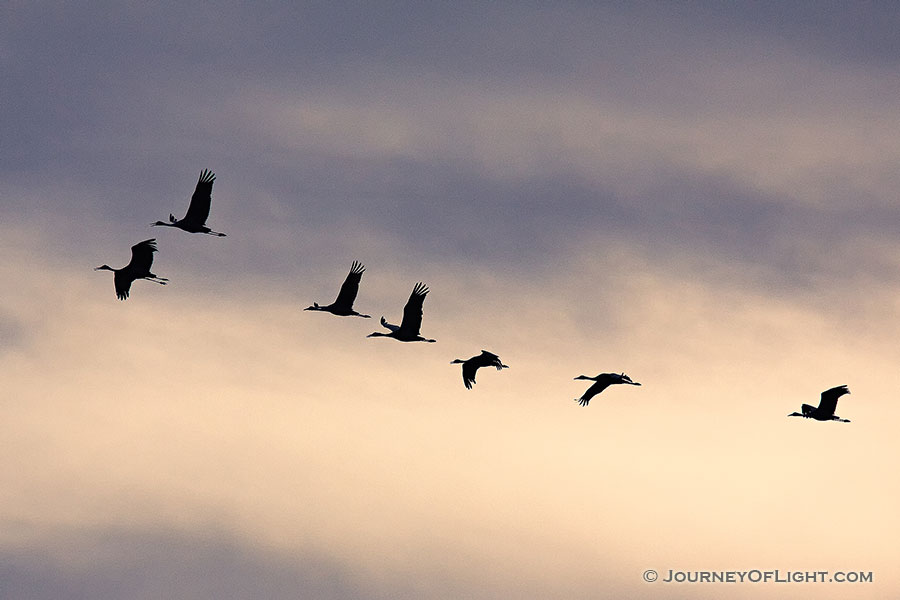 Sandhill cranes soar high while sunset illuminates the clouds behind. -  Photography