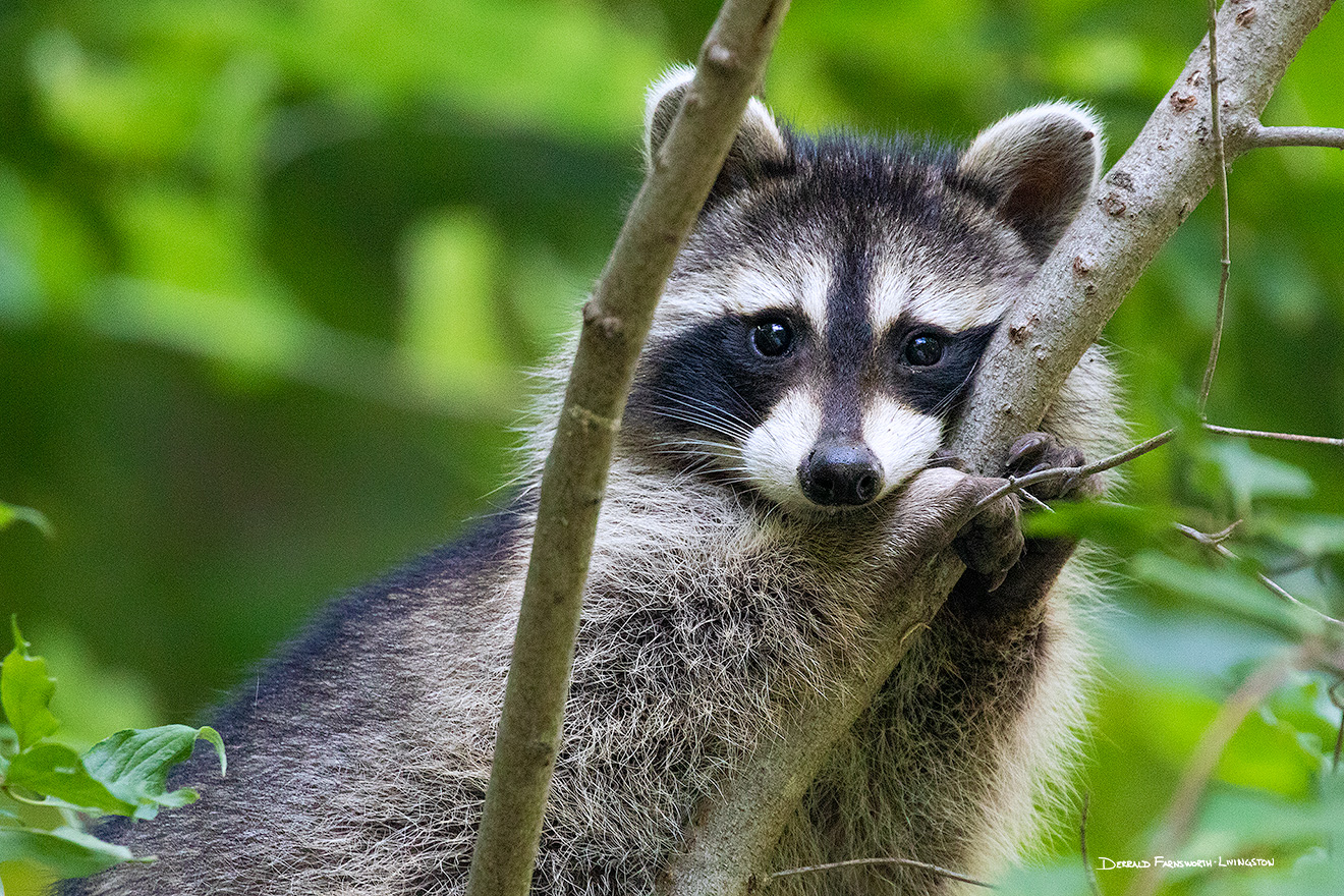 A wildlife photograph of a raccoon in a tree at Fontenelle Forest in eastern Nebraska. - Nebraska Picture