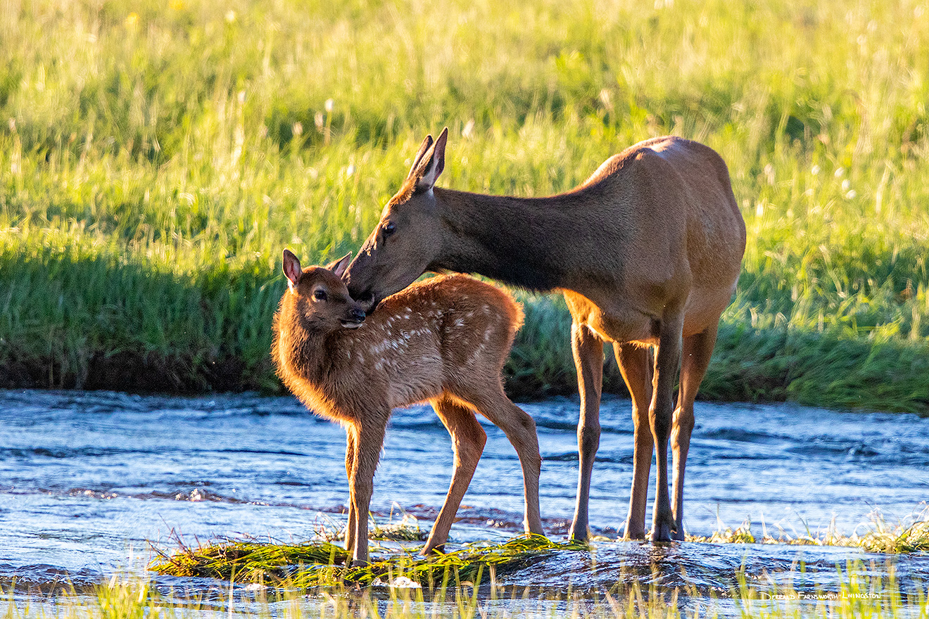 An elk calf receives an affectionate kiss from her mother in Moraine Park, Rocky Mountain NP, Colorado. - Colorado Picture