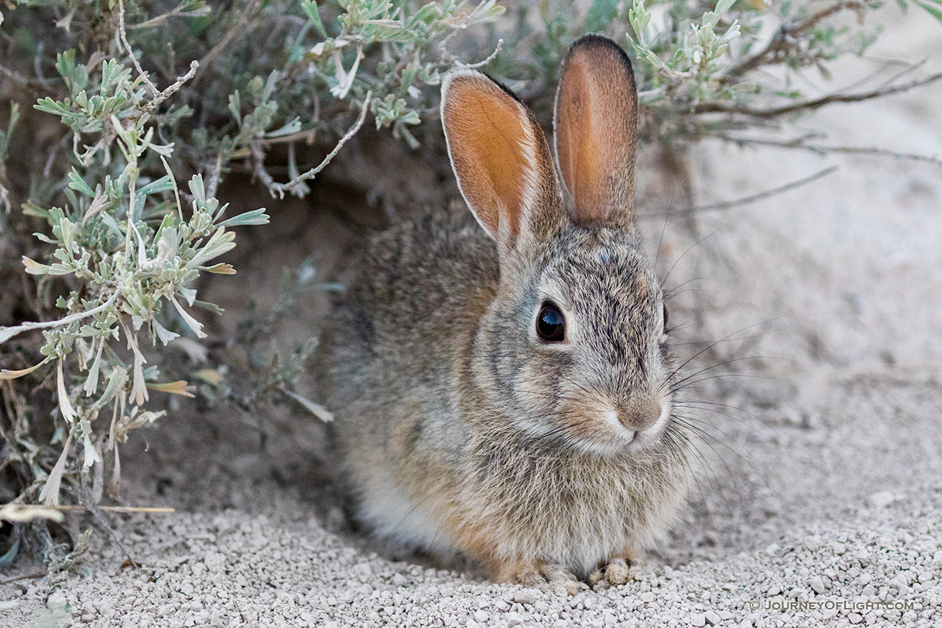 A Nebraska wildlife photograph of a cottontail rabbit under sagebrush at Toadstool Geologic Park. - Nebraska Picture