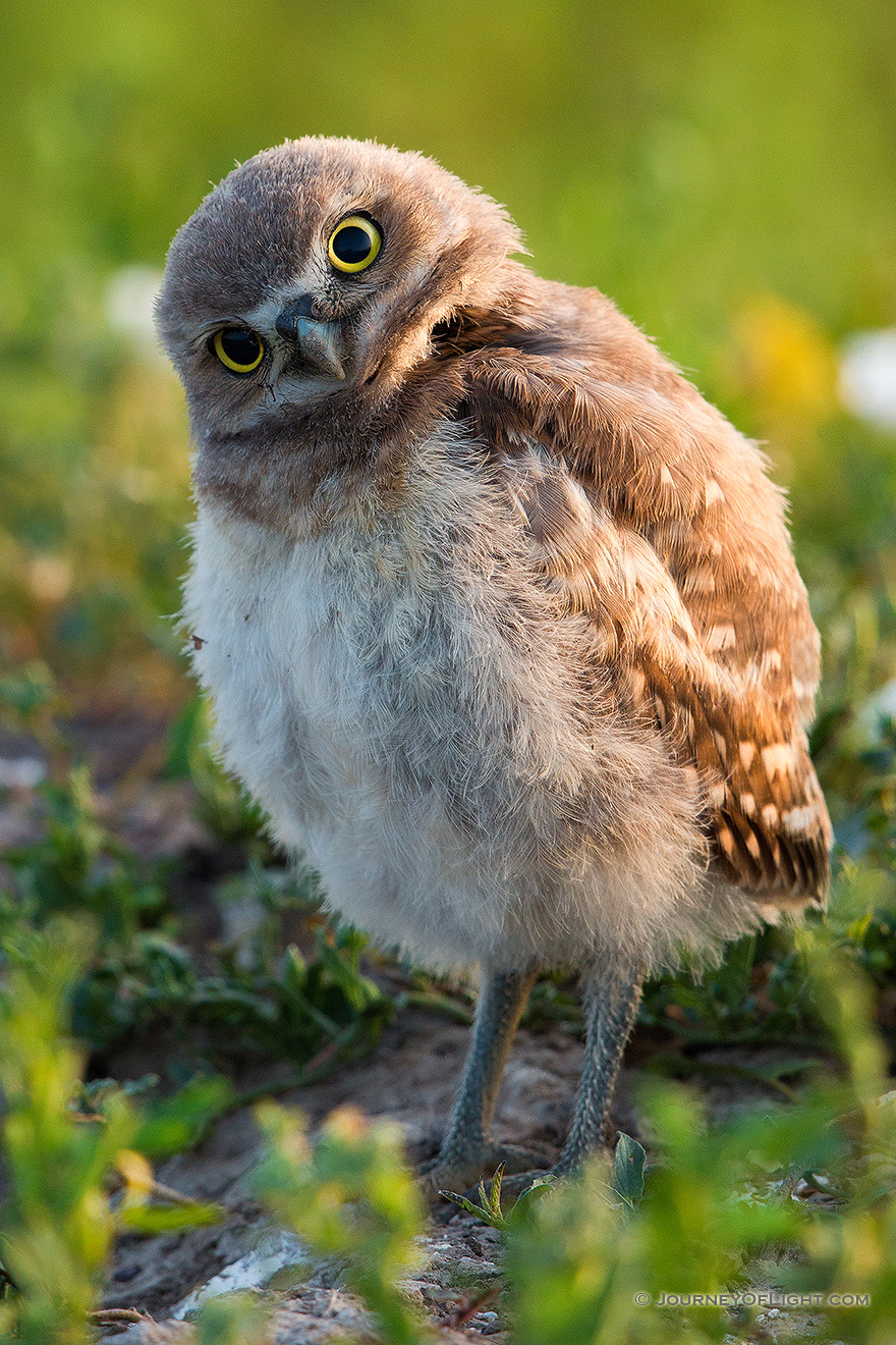 A young owlet tilts his head in curiosity in Badlands National Park, South Dakota. - South Dakota Picture
