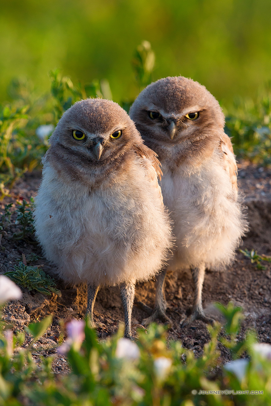 Two burrowing owl chicks watch quietly outside their home in Badlands National Park, South Dakota. - South Dakota Picture