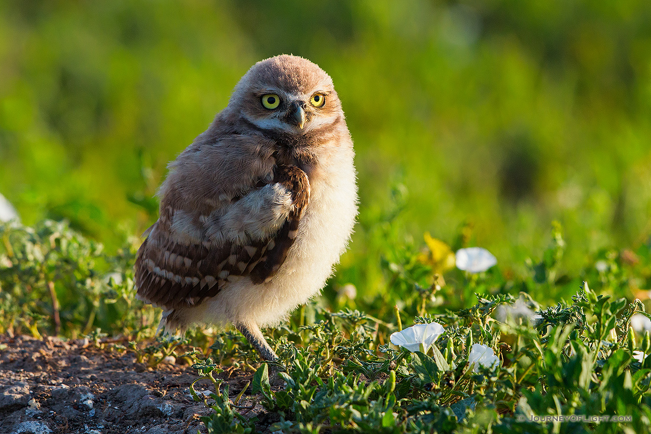 An owlet takes in the warmth of the morning sun in Badlands National Park, South Dakota. - South Dakota Picture