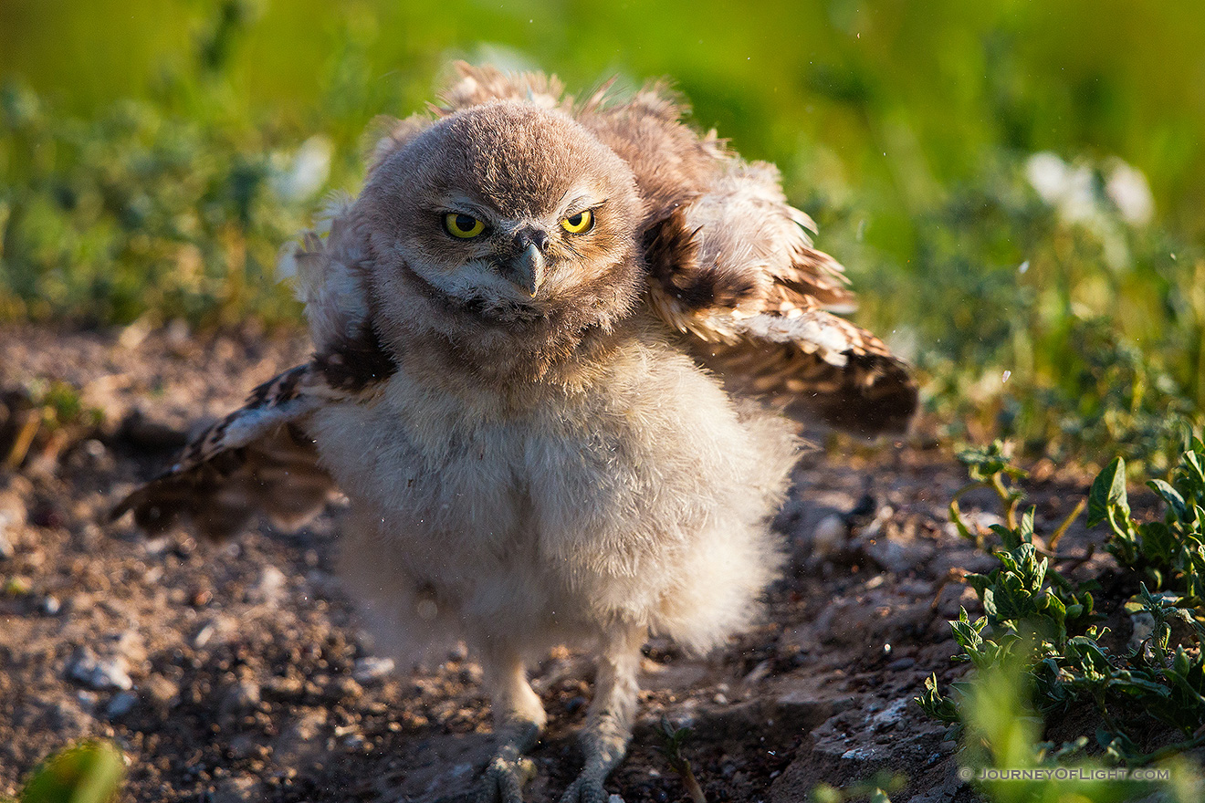 An owlet shakes his feathers just after sunrise in Badlands National Park, South Dakota. - South Dakota Picture