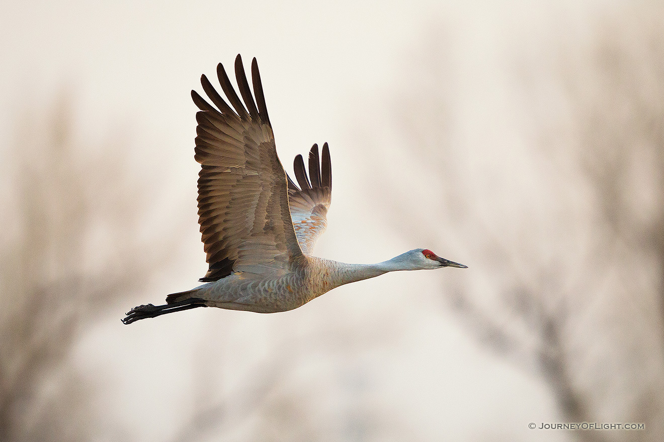 A Sandhill Crane soars high above the Platte River in the early morning just prior to sunrise. - Great Plains,Wildlife Picture