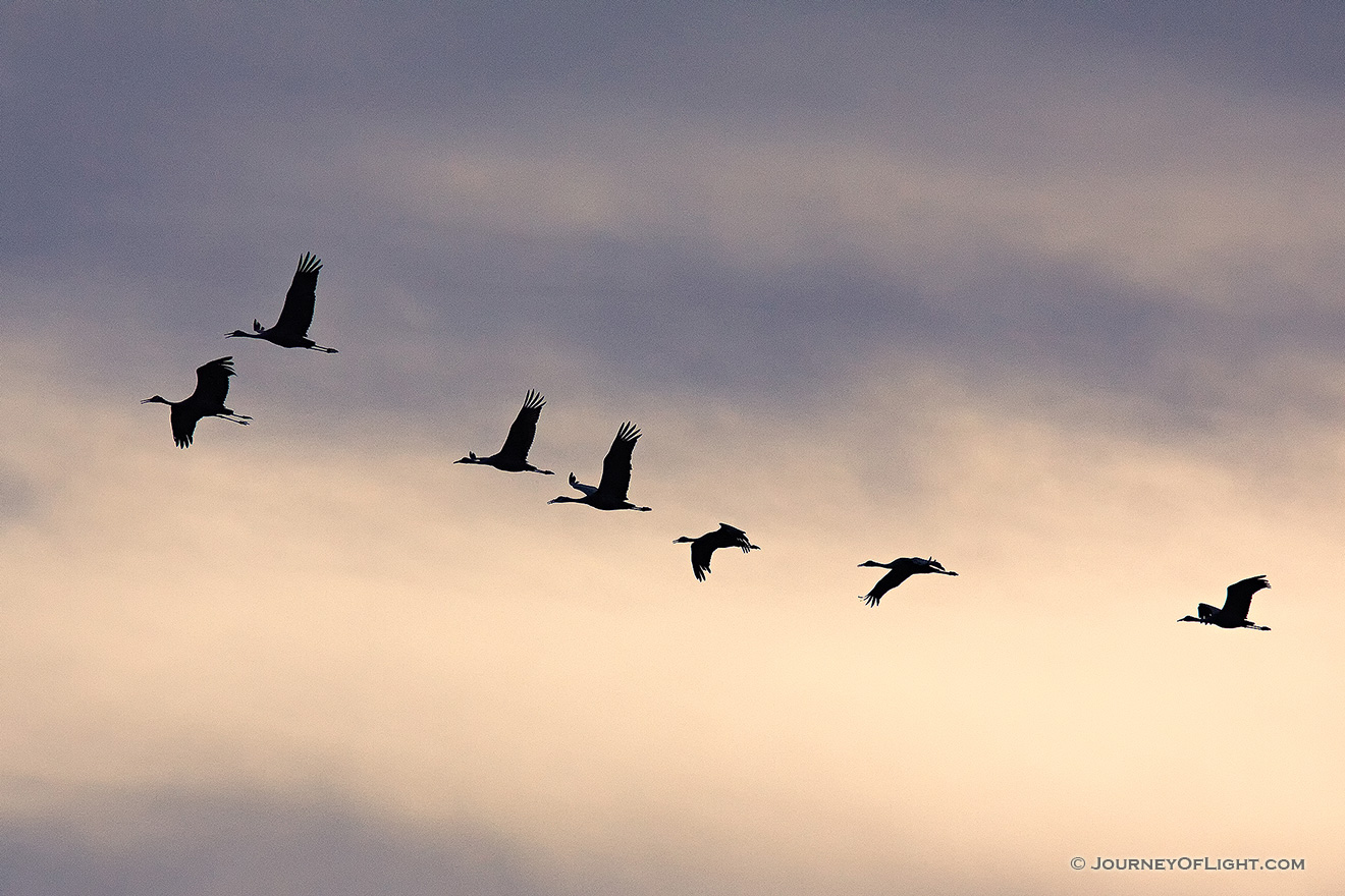 Sandhill cranes soar high while sunset illuminates the clouds behind. -  Picture